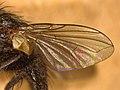 Oswaldia muscaria (40720945854).jpg