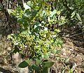 Osyris lanceolata, in blom, a, Pretoria NBT.jpg