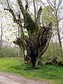 Oude lindeboom - Le vieux tilleul - panoramio.jpg