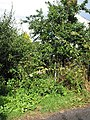 Overgrown footpath - geograph.org.uk - 526412.jpg