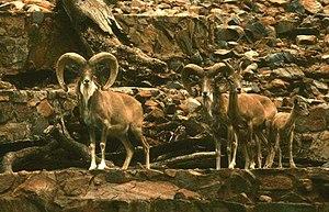 Urial - Transcaspian arkals (O. o. arkal) at Pretoria Zoo