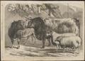 Ovis aries - 1868 - Print - Iconographia Zoologica - Special Collections University of Amsterdam - UBA01 IZ21200111.tif