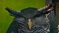 Owl in trivandrum zoo.jpg