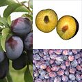 Owoce Śliwka.jpg