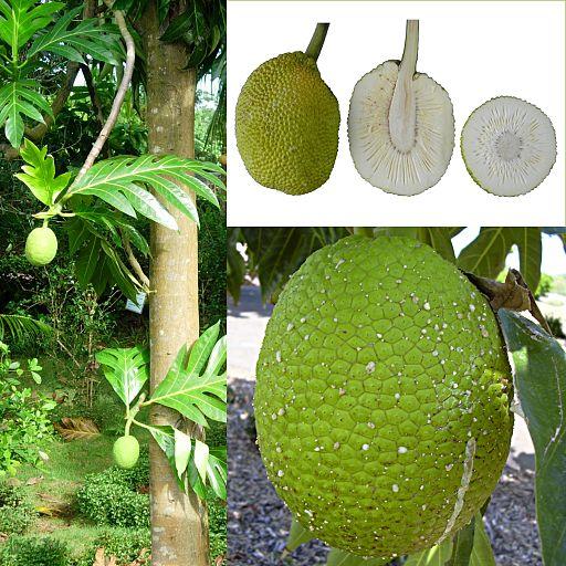 Owoce Drzewo chlebowe