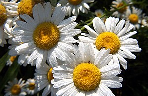 Marguerite route - Marguerite flowers, that the route has been named after