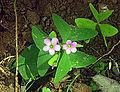 Oxalis latifolia, the Broadleaf Woodsorrel (12576406034).jpg