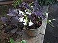 Oxalis triangularis-4-polonnaruwa-Sri Lanka.jpg