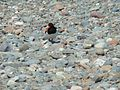 Oyster Catcher on Solway Firth (537763545).jpg