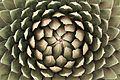 Pájara La Lajita - Oasis Park - Agave victoriae-reginae 02 ies.jpg
