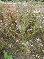 P1000494Schizanthus pinnatus (Poor Man's Orchid) (Solanaceae) Plant.JPG
