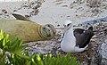 PMNM - Hawaiian Monk Seal Laysan Albatross - Midway Atoll (33154904842).jpg