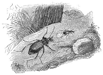 PSM V39 D249 Scaphinus repelling the attack of a carabus.jpg