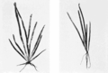 PSM V68 D257 Vallisneria spiralis growth in loamy and sandy soils.png