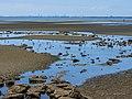 Pacific golden plover tidal strand Sandgate Brisbane Bramble Bay Queensland P1100384.jpg