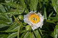 Paeonia emodi - Kew Gardens.jpg