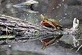 Painted Turtle (17709376220).jpg