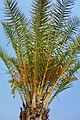 Palm Tree at Namutomi (37711713392).jpg