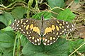 Papilio demoleus – Lime Swallowtail - Lime butterfly from Peravoor 05.jpg