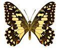 Papilio demoleus sthenelus.jpg