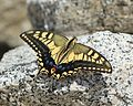 Papilio machaon (Mount Kisokoma s2).JPG
