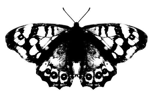 Papillon n&b