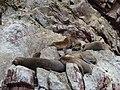 Paracas National Reserve.-les otaries (2).jpg