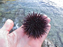 Zostera Marina Close Up Paracentrotus lividus ...