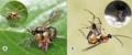 Parasite170127-fig2 ovipositor Pimplinae.png