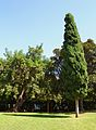 Parc de Benicalap, xiprer.JPG