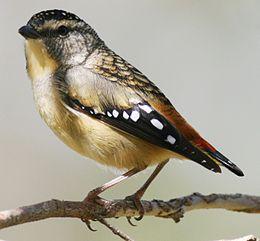 Pardalotus punctatus.jpg