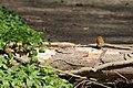 Park Cronesteyn Roodborstje (Erithacus rubecula) (17096970146).jpg