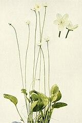 Parnassia glauca WFNY-085.jpg