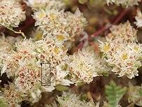 Paronychia argentea (flowers)-weird.jpg