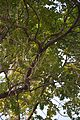Parrot Pair - Kharagpur - West Midnapore 2015-01-24 4848.JPG