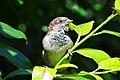 Passer domesticus - Arboretum 2010-09-11 15-33-38.JPG