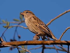 Spanish sparrow - Female in the Canary Islands