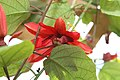 Passiflora Grace Ann 3zz.jpg