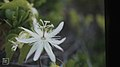 Passiflora pectinata, Little San Salvadore (38839609332).jpg