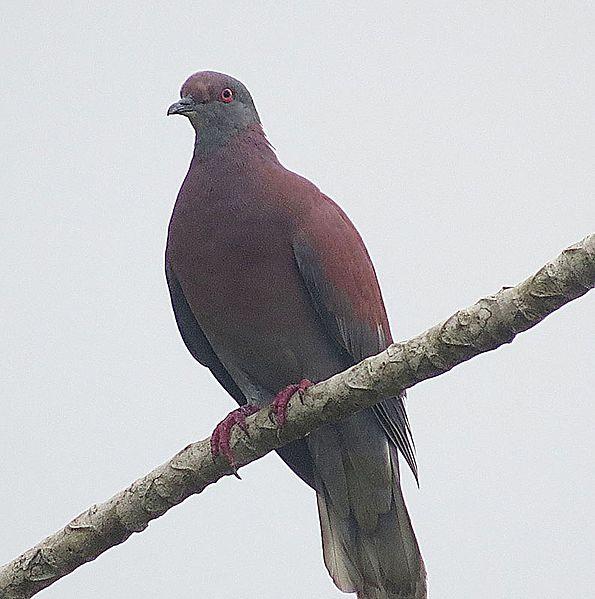 File:Patagioenas cayennensis - Flickr - Dick Culbert.jpg