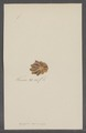 Patella laciniosa - - Print - Iconographia Zoologica - Special Collections University of Amsterdam - UBAINV0274 081 08 0005.tif