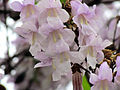Paulownia tomentosa flowers.jpg