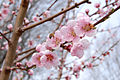 Peach blossoms and a bee.jpg
