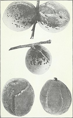 Peach scab and its control (1917) (14775998684).jpg