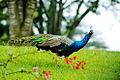 Peacock, Nyeri.jpg