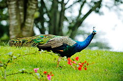 Peacock at Outspan Hotel, Nyeri