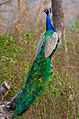 Peacock BackView by N A Nazeer.jpg