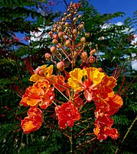 Peacock Flower or Pride-of-Barbados -- Caesalpinia pulcherrima.jpg