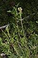 Pedicularis contorta 7354.JPG
