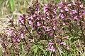 Pedicularis palustris, RNN Remoray - img 25548.jpg